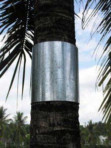đặt vòng thiếc trên thân dừa