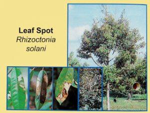Disease-lef-spot-rhizoctonia