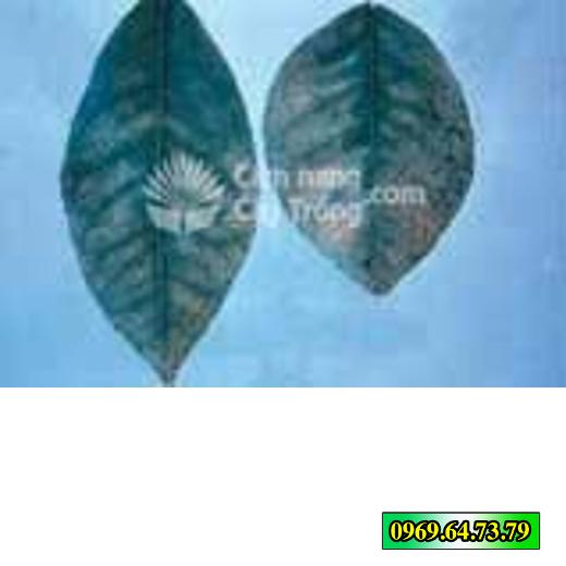 Các vết đốm thể hiện ở mặt sau lá