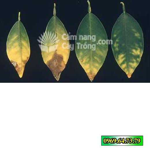 Hoại tử tại mép lá, lá úa dần và chuyển mầu vàng cam do ngộ độc Bo quá mức