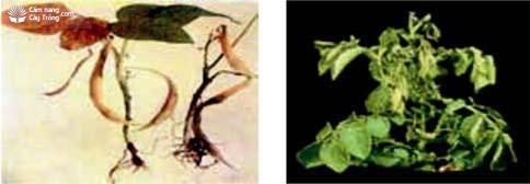 Triệu chứng thiếu canxi trên cây trồng