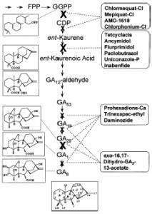 Vị trí tác động của một số chất ức chế sự tổng hợp Gibberellin trong quá trình sinh tổng hợp GA - X Vị trí tác động chính - x vị trí tác động phụ