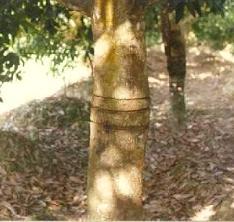 Xử lý ra hoa bằng biện pháp khấc thân trên cây xoài