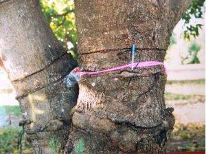 Xử lý xoài ra hoa bằng biện pháp khoanh thân và buộc dây có tẩm morphactin trên xoài Kensington pride ở Darwin
