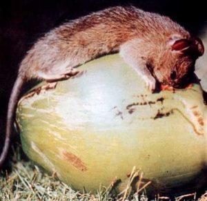 chuột hại dừa