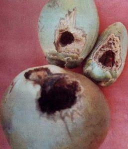 chuột khoét trái dừa