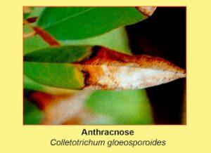 disease-anthracnose-colletotrichum-gloeosporoides