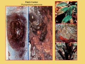 disease-patch-canker-phytophthora-palmivora-comp