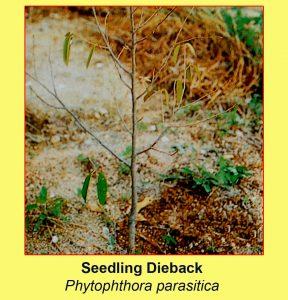 disease-seedling-dieback-phytophthora-parasitica