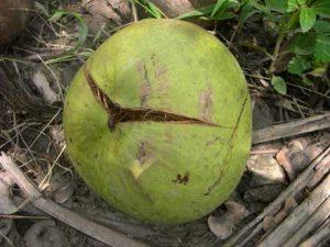nứt và rụng trái dừa