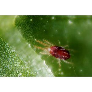 nhện đỏ