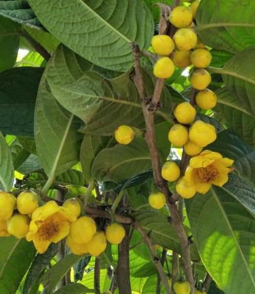 combo 2 cây giống trà hoa vàng: Mua bán trực tuyến Cây hạt giống & củ với giá rẻ | Lazada.vn
