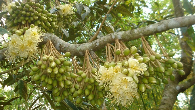 Kỹ thuật chăm sóc cây sầu riêng giai đoạn ra hoa - Nông Nghiệp Trẻ