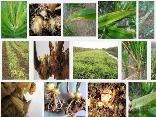 Các loại sâu bệnh hại thường gặp ở cây Gừng, 127, Mai Tâm, Nông Nghiệp Nhanh,