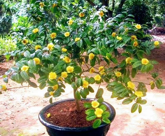 Cây giống trà hoa vàng: Mua bán trực tuyến Cây hạt giống & củ với giá rẻ | Lazada.vn