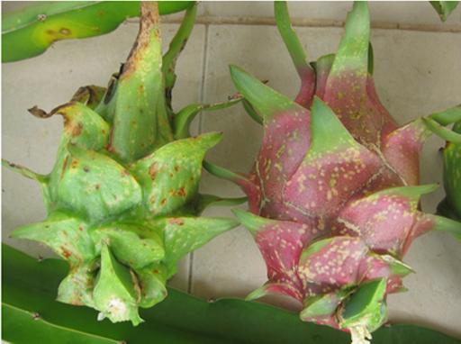 Bình Thuận: Bùng phát bệnh đốm nâu trên cây thanh long