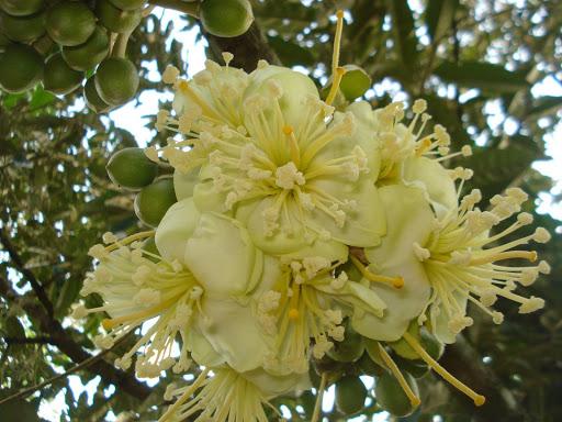 Nhớ mùa hoa sầu riêng năm ấy