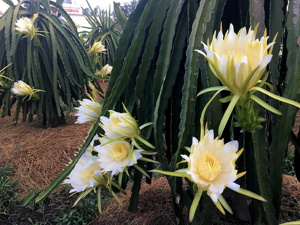 Tổng hợp những hình ảnh đẹp nhất về hoa thanh long - Zicxa hình ảnh