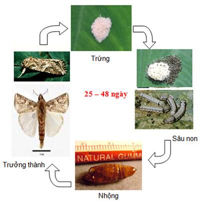 Sâu khoang (Sâu ăn tạp) hại rau, đậu (Spodoptera litura)