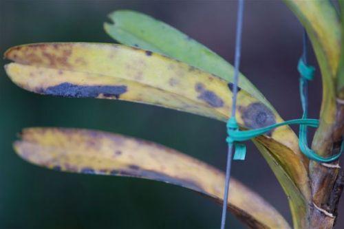 5 loại bệnh trên cây hoa lan và cách phòng trừ