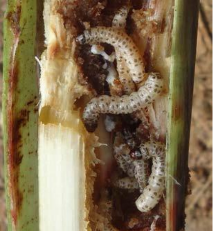 Cách phòng trừ sâu đục thân hại Lúa - Nuôi trồng - Kỹ thuật nuôi trồng
