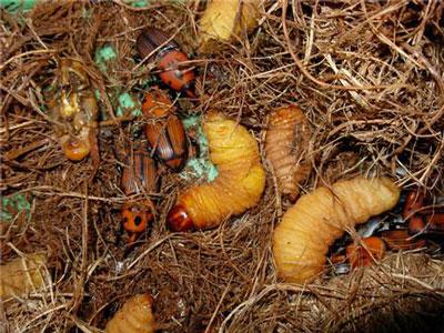 Đuông (Rhynchophorus ferruginenus O.)