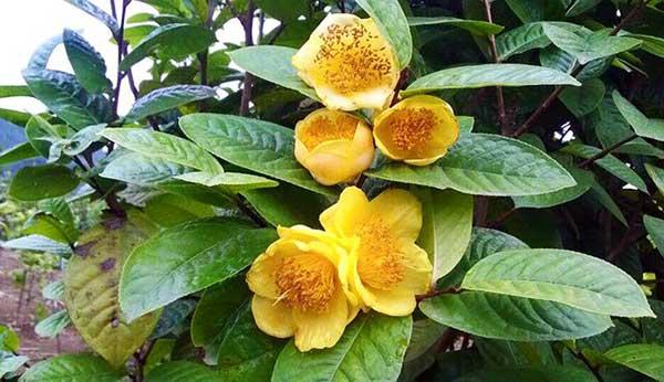 Kỹ thuật trồng trà hoa vàng
