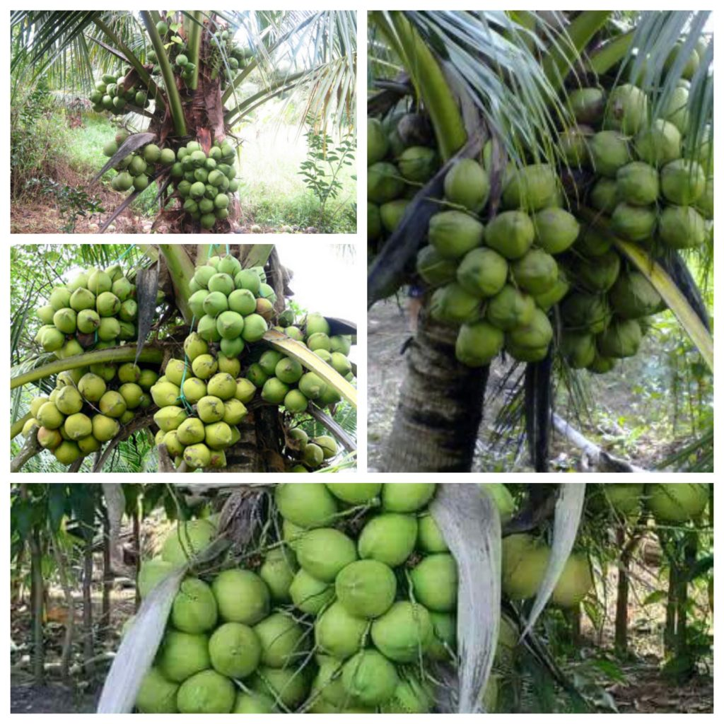 ky thuat trong dua sap hieu qua nhanh thu hoach 1 1024x1024 - Kỹ thuật trồng dừa sáp hiệu quả nhanh thu hoạch