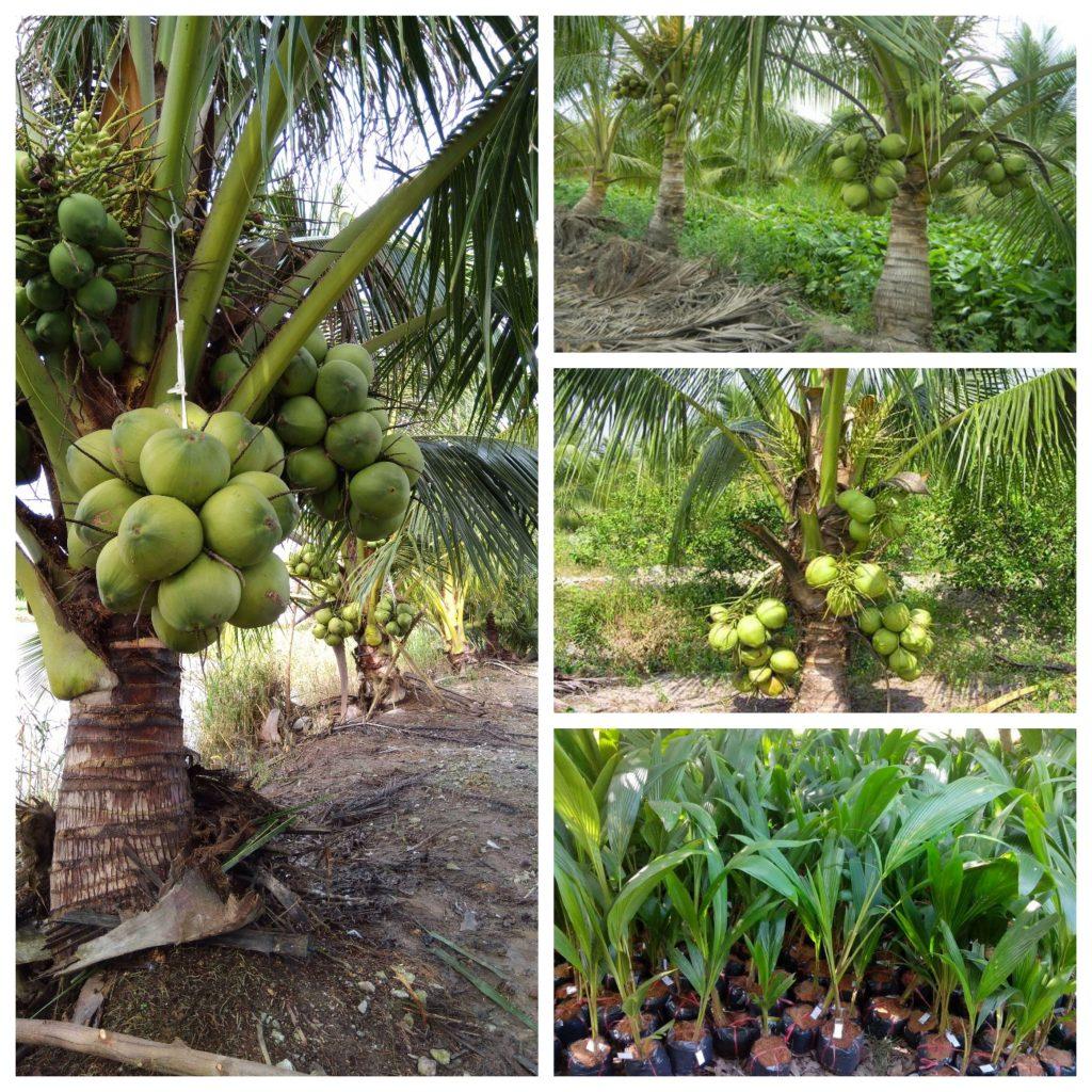 ky thuat trong dua sap hieu qua nhanh thu hoach 2 1024x1024 - Kỹ thuật trồng dừa sáp hiệu quả nhanh thu hoạch