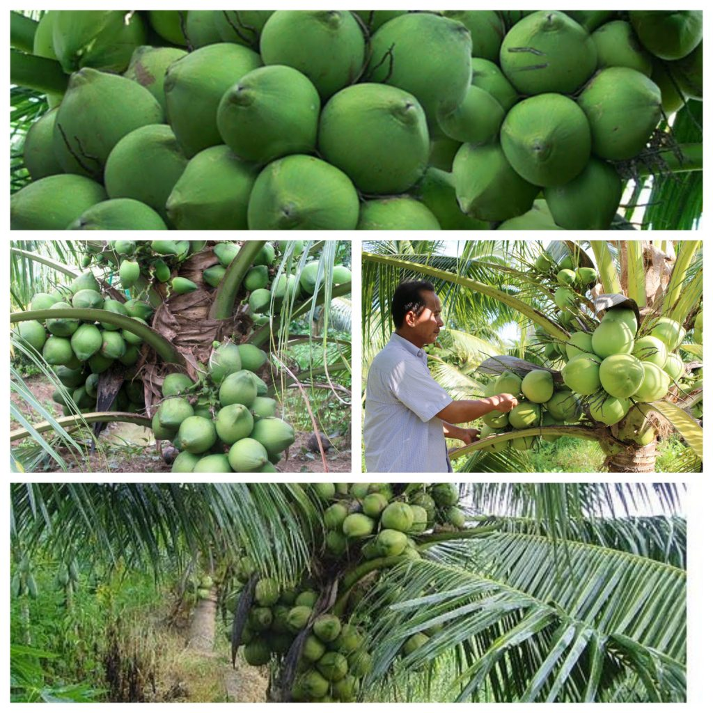 ky thuat trong dua sap hieu qua nhanh thu hoach 3 1024x1024 - Kỹ thuật trồng dừa sáp hiệu quả nhanh thu hoạch