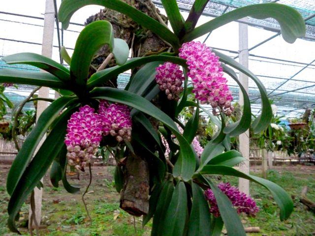 Kỹ thuật trồng hoa lan rừng đơn giản