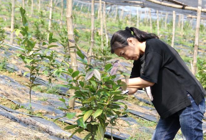 Kỹ thuật trồng trà hoa vàng tại nhà cho năng suất cao - Dược Liệu Tam Đảo