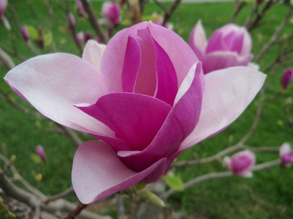 Mộc Lan là loài thực vật thuộc họ Magnoliaceae, phân bố rải rác ở khắp mọi nơi trên Thế Giới. Ảnh minh họa