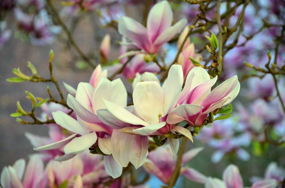 Cây hoa mộc lan với vẻ đẹp lãng mạn