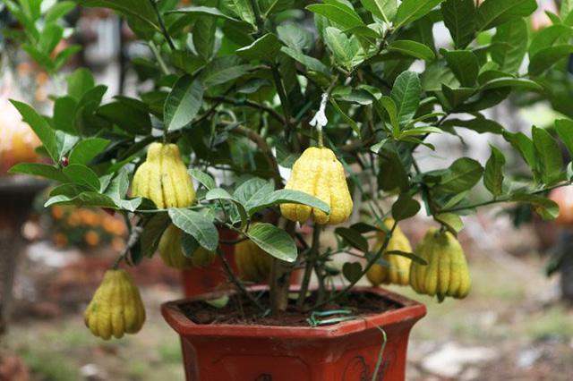Kỹ thuật trồng cây phật thủ có thể theo hai cách là giâm cành và trồng cây con. Ảnh minh họa