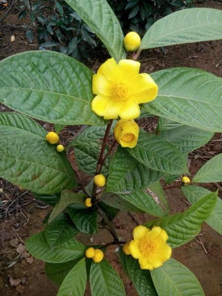 Bán giống cây trà hoa vàng uy tín giá rẻ-Giao hang toàn quốc