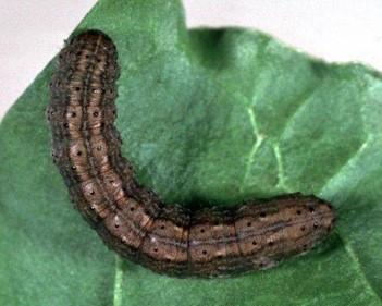 GẠO VÀ CÂY TRỒNG: Thuốc trừ sâu ăn tạp trên mai vàng kiểng