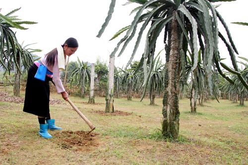 Kỹ thuật bón phân cho cây thanh long