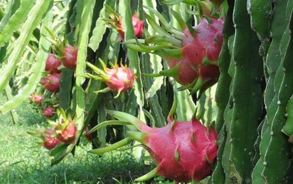 HƯỚNG DẨN】Kỹ thuật trồng cây thanh long ruột đỏ cho năng suất cao