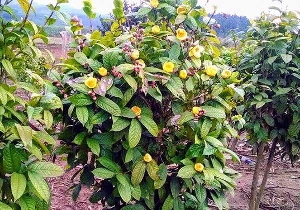 Phòng trừ sâu bệnh cho trà hoa vàng