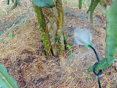 Lắp đặt hệ thống phun sương cây thanh long