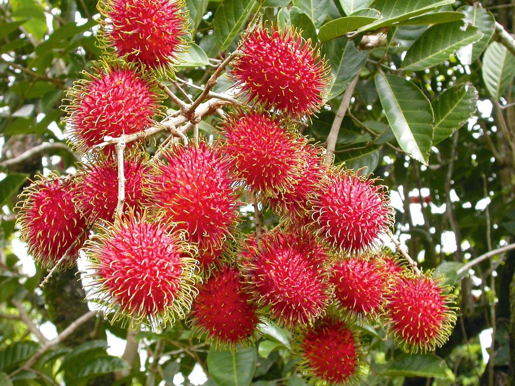 Cassowary Coast Rambutan on tree