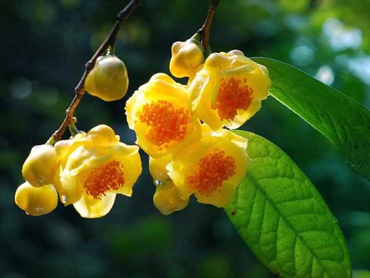 Hình ảnh cây trà hoa vàng - nữ hoàng của các loại trà