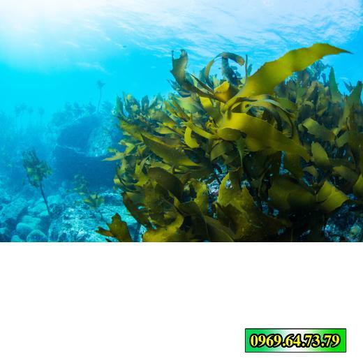 kelp-boost-kich-thich-sinh-truong-kimngonggoldstar