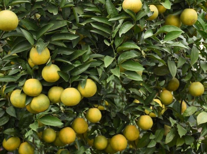 kỹ thuật chăm sóc cây cam sau thu hoạch
