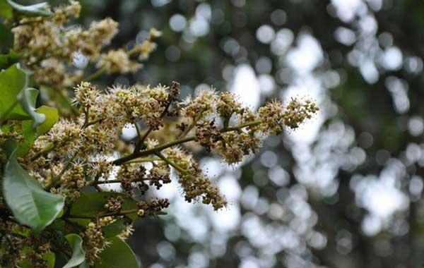 Bệnh phấn trắng gây thối hoa nhãn vải
