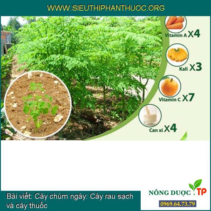 Cây chùm ngây: Cây rau sạch và cây thuốc