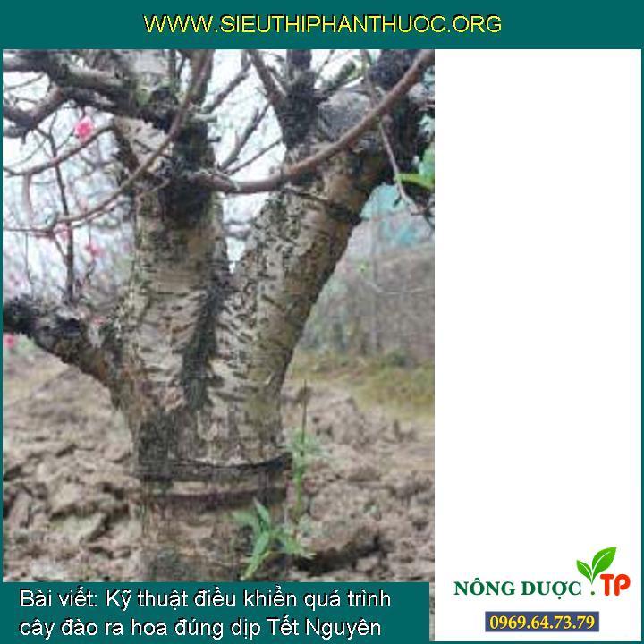Kỹ thuật điều khiển quá trình cây đào ra hoa đúng dịp Tết Nguyên Đán