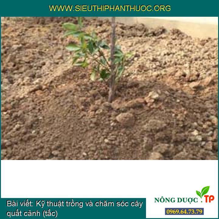 Kỹ thuật trồng và chăm sóc cây quất cảnh (tắc)