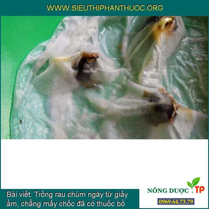 Trồng rau chùm ngây từ giấy ẩm, chẳng mấy chốc đã có thuốc bổ cho cả nhà